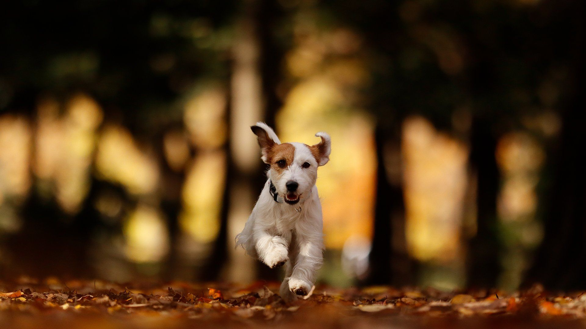 A small dog runs towards the camera on a path covered with leaves.